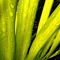 капли на листьях :: Ирина Бруй