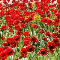Тюльпаны 2 :: Олег
