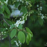 Белая черёмуха..... :: Сергей Касимов