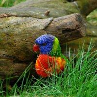 Попугайчик живет под бревном. :: ФОТО ОХОТНИК