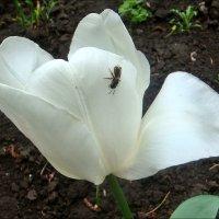 Пчёлка на белом тюльпане :: Нина Корешкова