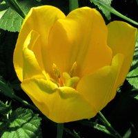 Сегодня в моем саду были замечены новые виды тюльпанов )) :: НаталиЯ ***