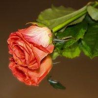 Её величество Роза. :: Анатолий. Chesnavik.