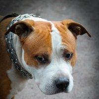 Грустная собака :: Евгения Кирильченко