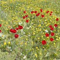 Тюльпаны ! :: Олег
