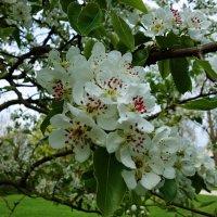 """""""...Яблони в цвету - весны круженье ..."""" :: Galina Dzubina"""