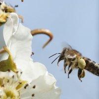 Полёт пчелы :: Balakhnina Irina