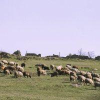 пастухи :: Алена Юрченко