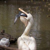 Жестокий пеликан. :: Dinara Nebaraeva