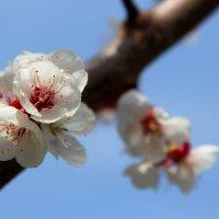 Цвет абрикосы :: Ирина