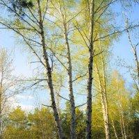 Весенний лес :: nika555nika Ирина