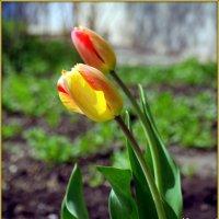 Тюльпанов цвет... :: Андрей Заломленков