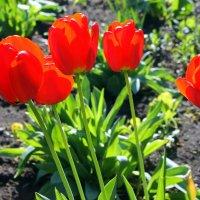 Тюльпанов огоньки. :: Валентина ツ ღ✿ღ