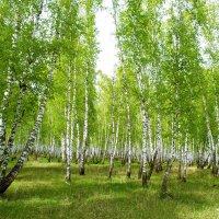 Весна в берёзовом лесу. :: юрий Амосов