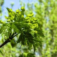 Клён зелёный, да клён кудрявый. :: Svetlana Baglai