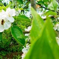 Яблони цвет :: Люша