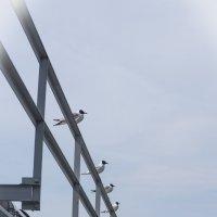 чайки на мосту :: Lana Kasiková