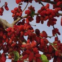 красная ягода :: İsmail Arda arda