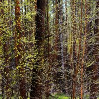 Мужают первенцы апреля... :: Лесо-Вед (Баранов)