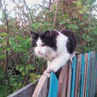 кот назаборный... :: александр дмитриев