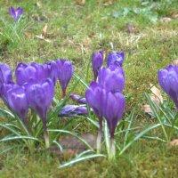 Первые цветы :: Лариса Малько