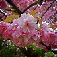 Нежность розовых лепестков.... :: Galina Dzubina