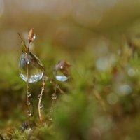 Капля воды на мхе :: Balakhnina Irina