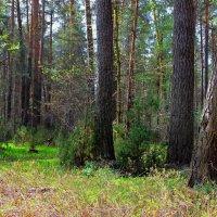 Дурманит лес весенней новизною... :: Лесо-Вед (Баранов)
