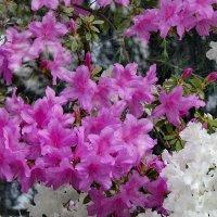 Цветут азалии :: Светлана