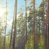 утро в сосновом лесу :: Алиса Терновая