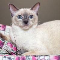 Тайская кошка :: Наталия Крыжановская
