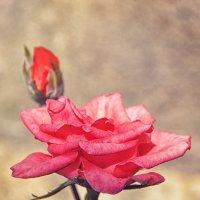 розовая роза :: Алиса Терновая