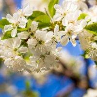 Вишня цветёт :: Сергей Малый