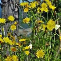 Бабочки на жёлтых цветах :: Сергей Чиняев