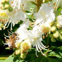 Благоуханный завтрак пчелы. :: Валентина ツ ღ✿ღ