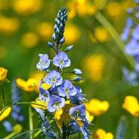 Лютики, цветочки :: Петр Заровнев