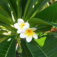 Белые цветки плюмерии :: Ирина