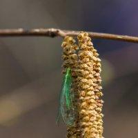 зеленушка крылатая :: Денис Антонов