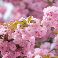 Цвет сакуры :: Марина Кит