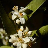 Весна пришла, лимоны зацвели :: Nikola
