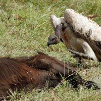 Гриф - птица голодная :: Виктор Кац