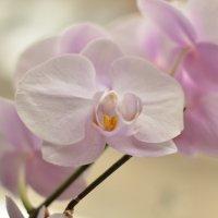 орхидея :: Михаил Радин
