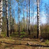 Весенний лес :: Катя Бокова