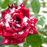 Весна, цветы и снег :: Милешкин Владимир Алексеевич