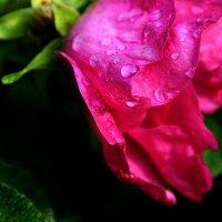Шиповник ...  после дождя.... :: Валерия  Полещикова