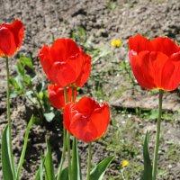 Красные тюльпаны, как огонь горят. :: Валентина ツ ღ✿ღ