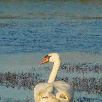 лебедь самец :: игорь