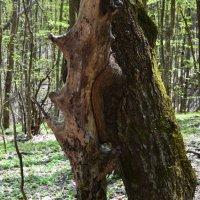 Такие у нас деревья... :: Береславская Елена