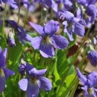 Первые цветы :: Иван Торопов