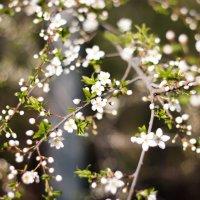 Когда цветут Вишни :: Оксана Романова
